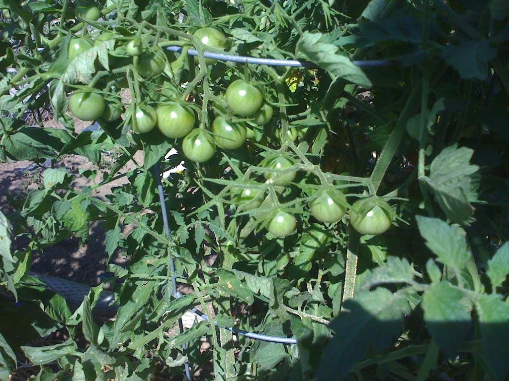 Is a tomato tree a myth or a reality